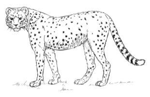 Gepard zeichnen lernen schritt