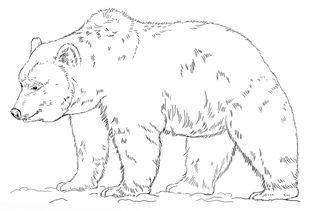 Grizzlyb r zeichnen lernen schritt f r schritt tutorial - Dessin de grizzly ...