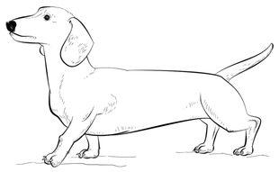 Kiwi Vogel Kleurplaat Hund Dackel Zeichnen Lernen Schritt F 252 R Schritt Tutorial