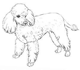 Hund Pudel zeichnen lernen schritt