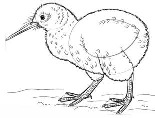 Vogel Kiwi Zeichnen Lernen Schritt Für Schritt Tutorial Zeichnen