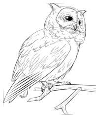 Vogel - Eule zeichnen lernen schritt für schritt tutorial ... | 195 x 236 jpeg 9kB