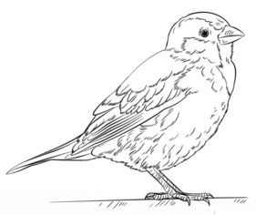 Kiwi Vogel Kleurplaat Vogel Spatz Zeichnen Lernen Schritt F 252 R Schritt Tutorial
