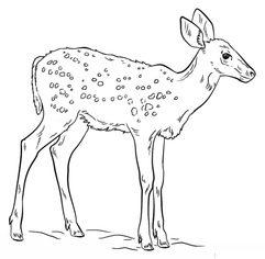 Reh zeichnen lernen schritt f r schritt tutorial