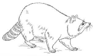 Otter Kleurplaat Waschb 228 R Zeichnen Lernen Schritt F 252 R Schritt Tutorial
