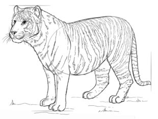 Tiger Zeichnen Lernen Schritt Für Schritt Tutorial Zeichnen Leicht