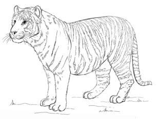 tiger zeichnen lernen schritt f r schritt tutorial. Black Bedroom Furniture Sets. Home Design Ideas