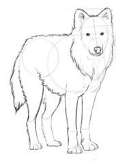 Wolf zeichnen lernen schritt f r